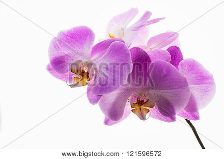 Phalaenopsis Orchids Branch On White Background