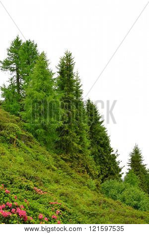 Larches on a meadow with Azalea in Switzerland.