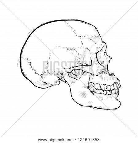 Hand Drawn Skulls In Monochrome. Vector Skulls Illustrations
