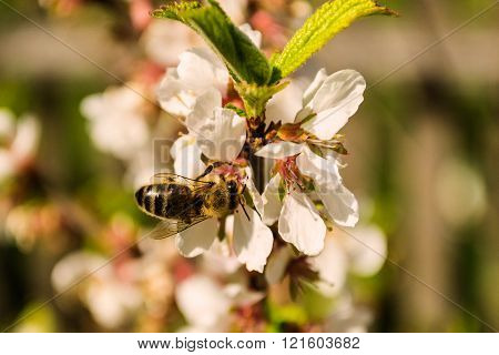 Bee Collects Pollen On Flower Cherry