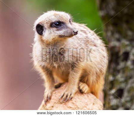 meerkat sits on stone and looks to the right