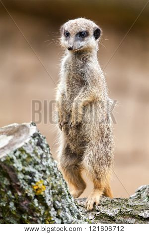meerkat sits on wood and looks to the ground