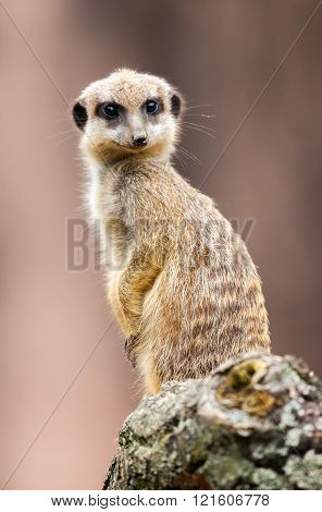 one meerkat sits on wood and looks to the camera