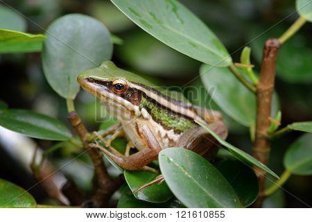 green paddy frog hiding in a bush
