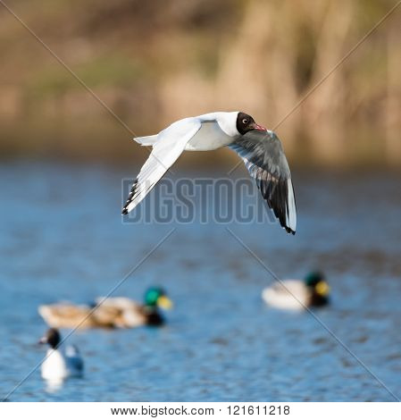 Mediterranean Gulls in small natural lake