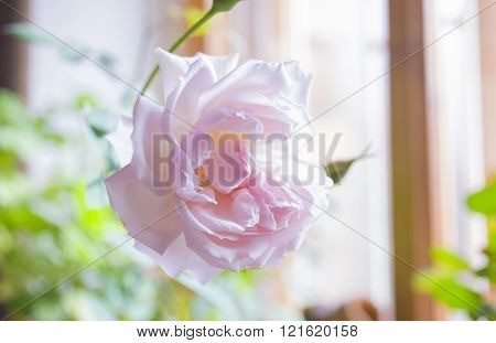 Gentle pink rose on the window. Romantic morning in honeymoon. ** Note: Shallow depth of field