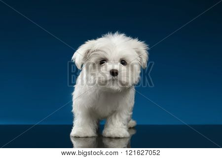 Cute Pure White Maltese Puppy Standing, Curiously Looking In Camera