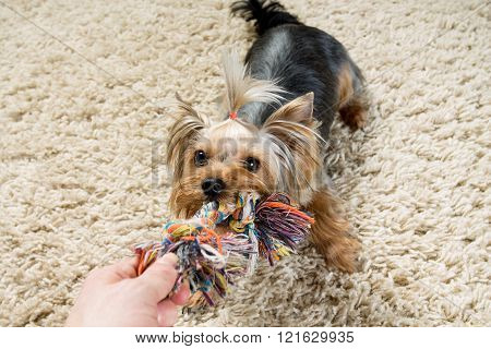 Pets. Yorkshire terrier is playing with a toy on the carpet