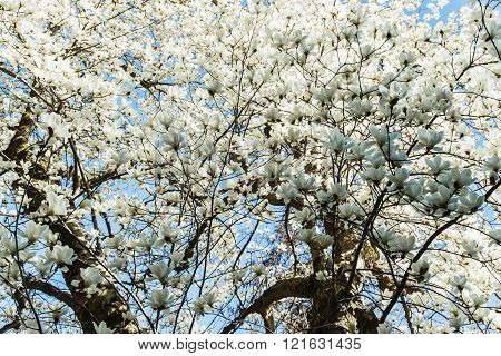 Blossoming  white of magnolia flowers in spring time
