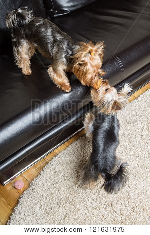 Yorkshire Terriers Are Playing With A Toy In The Room