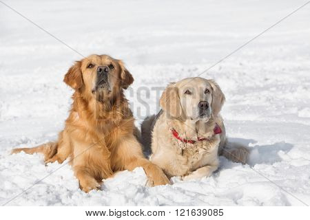 Two dogs (Golden Retriever) lying in the snow in winter