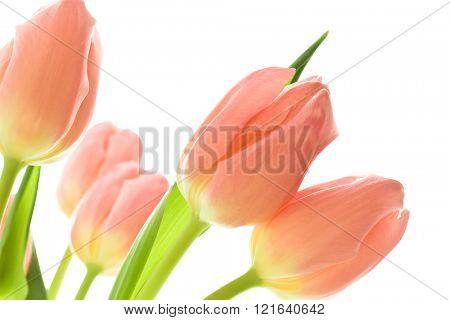orange tulips on white background