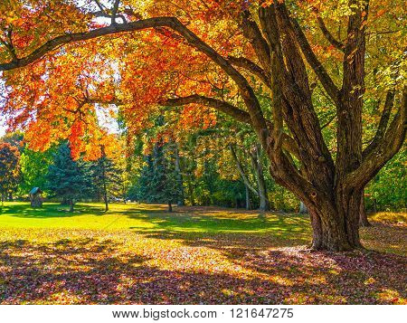 Autumn Shade Tree