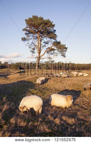 Flock Of Sheep On The Moor Near Zeist And Utrecht In The Netherlands