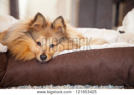 Young Shetland Sheepdog Lies In A Basket And Looks To The Camera