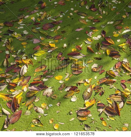 Colorful Autumn Leaves On Duckweed In Pond Lit By Sunlight