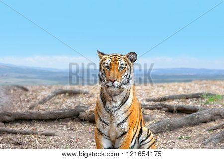 Portrait image of Bengal tiger