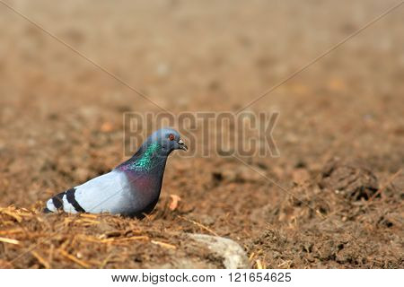 Pigeon feeding on food grains