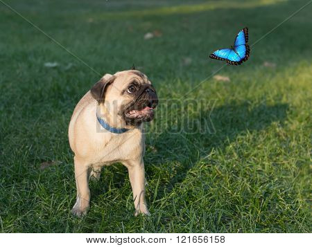 The Puppy Pug On Grass Is Watching On Butterfly, Known As Morpho Menelaus