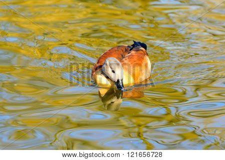 South African Shelduck (tadorna Cana)