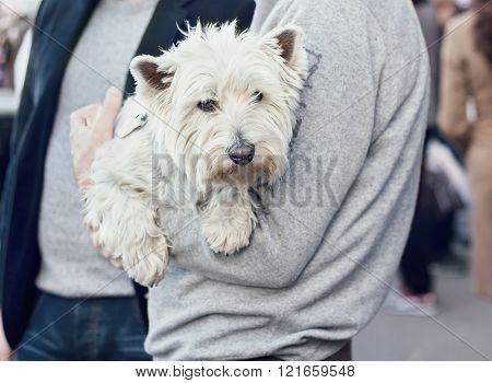 Cute West Highland White Terrier On Hands Of A Man