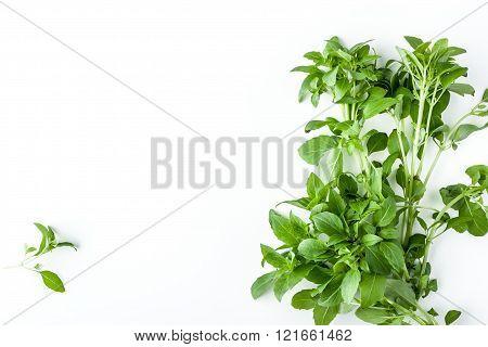 Green basil on the white background horizontal