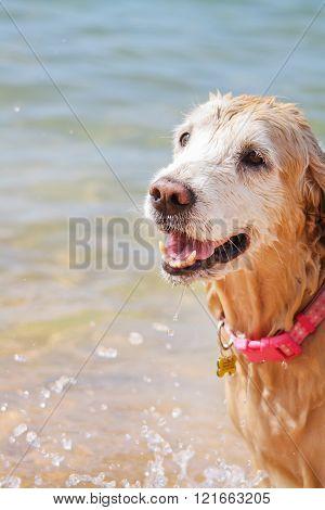 Golden Retriver dog at beach in the Caribbean Sea, Venezuela