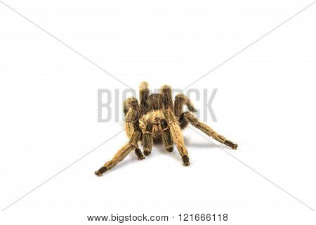 close up Tarantula Isolated on white Background