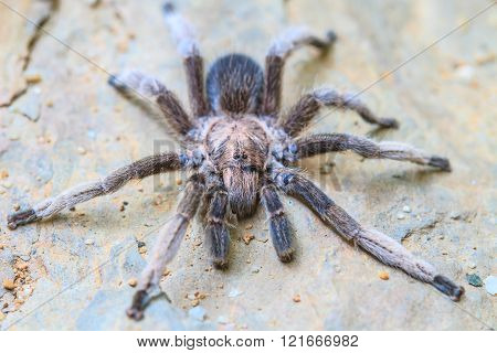 close up Tarantula on ground in forest