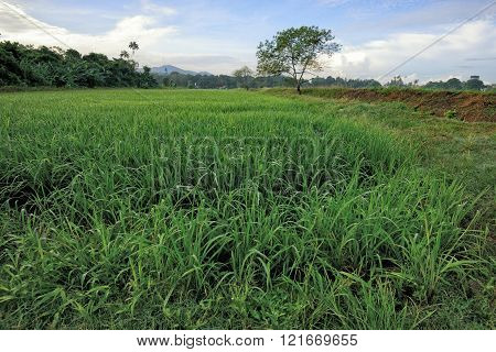 Green paddy field in Balik Pulau, Penang