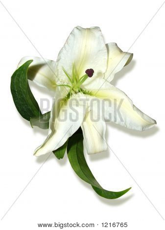 Madonna Lily ( Lily, Isolated)