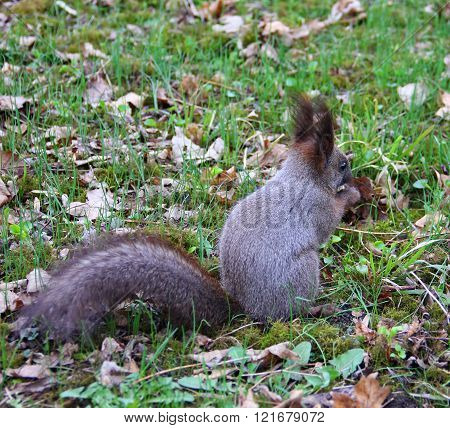 dark grey squirrel eats a nut