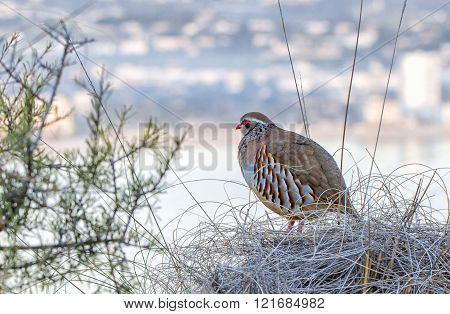 Guard/grey Partridge