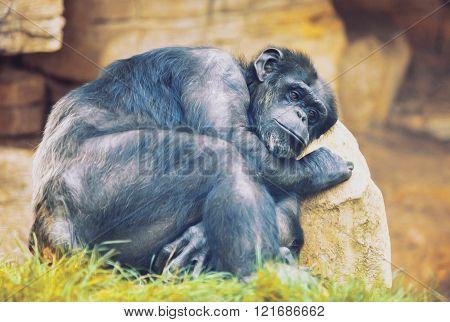 Unhappy Ape On A Stone