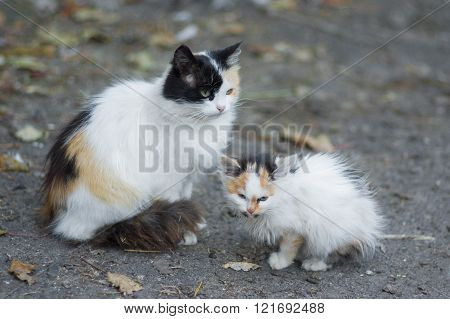 Mother and kitten - two three-colored cat