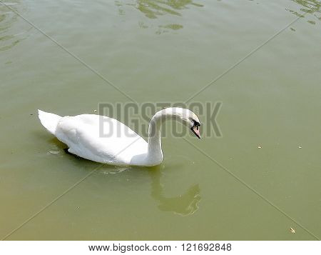 Floating White Swan on the pond of Ramat Gan Park Israel