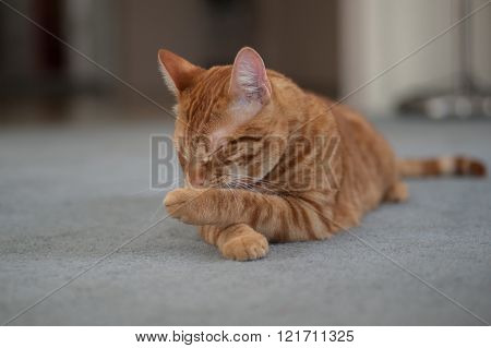 Orange Tabby cat licking his paws clean.