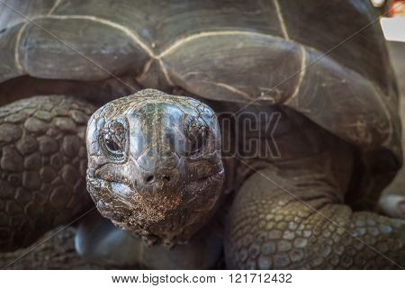 Highly deatailed image of Seychelles giant turtle