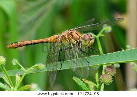 Ruddy darter (Sympetrum sanguineum) female