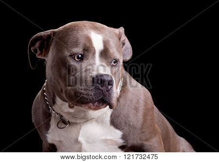 American Bully Dog Breed
