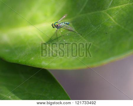 Long-legged Fly On Green Leaf