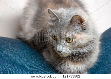 Grey lazy cat lying on jeans wear
