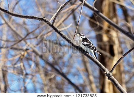 The active little Downy Woodpecker is a familiar sight at backyard feeders and in parks and woodlots, where it joins flocks, barely outsizing them. The male has a red patch on the back of his head.