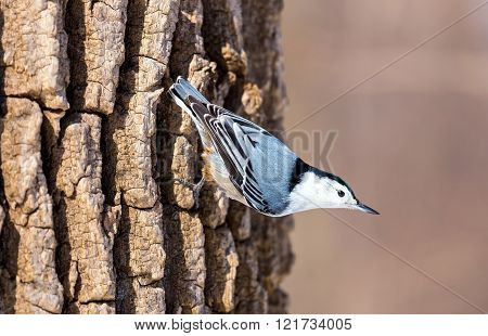 The white-breasted nuthatch is a small songbird of the nuthatch family which breeds in old-growth woodland across much of North America. It is a stocky bird, a large head, short tail, powerful bill