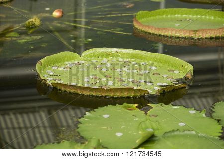 Coins in Giant Victoria lotus leaf