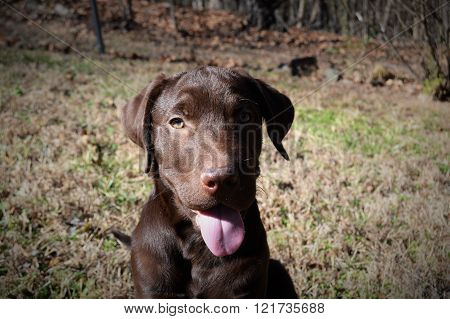 A chocolate Labrador outside in the grass