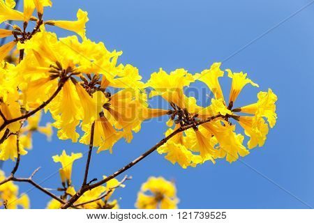 Blooming Yellow Trumpet Flower
