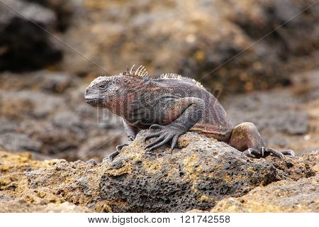 Marine Iguana On Chinese Hat Island, Galapagos National Park, Ecuador.