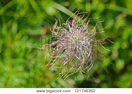 Closeup fruiting plants of Pulsatilla alpina flower during summer in Europe with blurred background