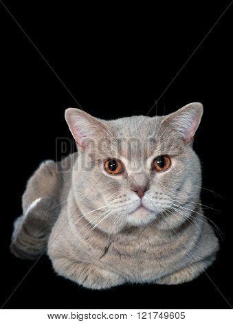British Shorthair Cat Isolated on Black Background